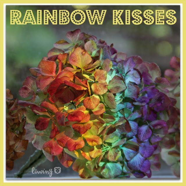 LÖwin.g: Gelebte Physik... Regenbogen auf Hibiskus ... Lichtbrechung ... rainbow on hydrangea ... light refraction