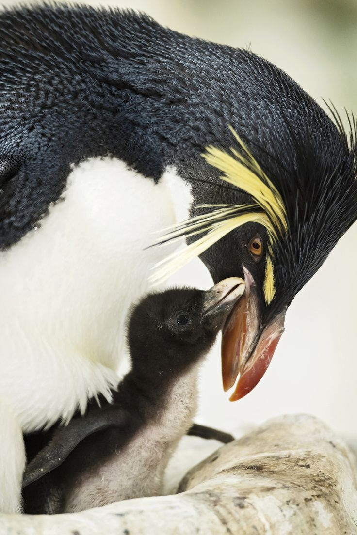 The Northern Rockhopper Penguin breeds on the island group around Tristan da Cunha, in the southern Atlantic, and is strongly endangered. Zoo Vienna.