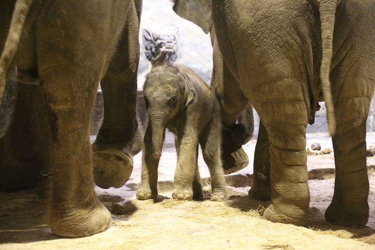 """""""O GRITO DO BICHO"""": Bélgica comemora o nascimento de elefante asiático..."""
