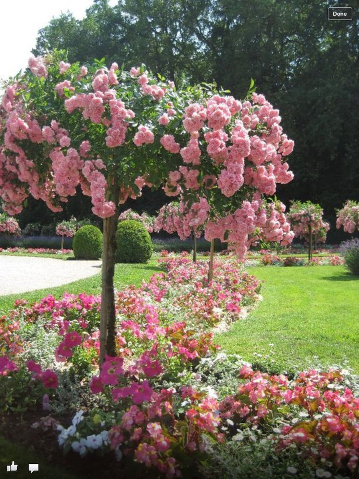 French Rose Tree Pinned With Pinvolve Co