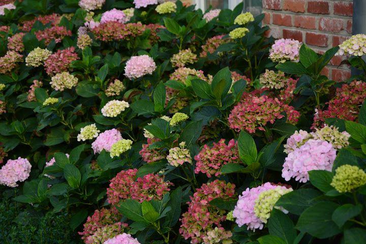 Bois des Dames : hydrangeas preciosa
