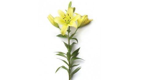 #Lys asiatique jaune #fleurs #mariage #francefleurs #wedding #deco #bouquet