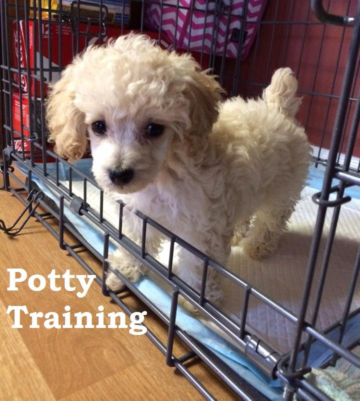 Poodle Puppies. How To Potty Train A Poodle Puppy. Poodle House Training Tips. Housebreaking Poodle Puppies Fast & Easy. Share this Pin with anyone needing to potty train a Poodle Puppy. Click on this link to watch our FREE world-famous video at ModernPuppies.com