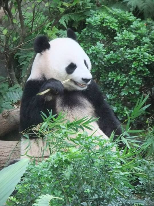 Panda Bear at Singapore Zoo