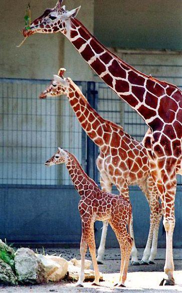 Warum der lange Hals der Giraffen eigentlich zu kurz und kein brauchbares Beispiel für die Erklärungskraft der Darwinschen Evolutionstheorie ist | Wunderkammer