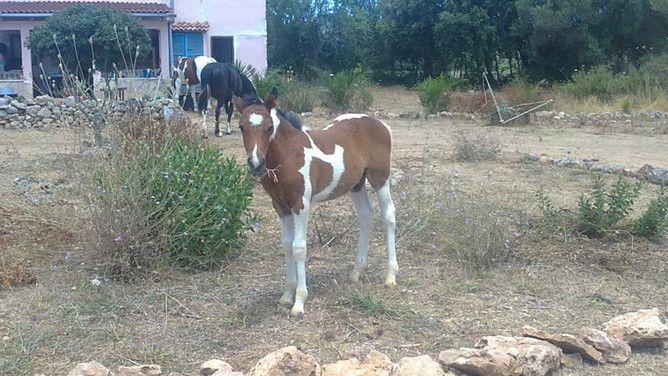 vendo Potro Pinto en venta en Islas Baleares :: Venta de Caballos. HE33074B5