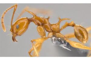 Two new ant species have been named after the 'Game of Thrones' dragons. And their resemblance could challenge scientist's assumptions about spiny ants.