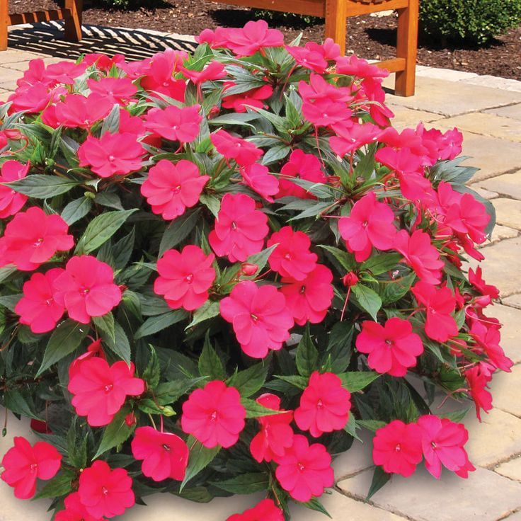 Impatiens Spreading Carmine Red SunPatiens® (pack of 6