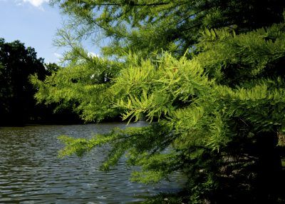 Bald Cypress Growing: Planting A Bald Cypress Tree - It's hard to mistake the bald cypress for any other tree. These tall conifers with flared trunk bases are emblematic of the Florida everglades. If you are considering planting a bald cypress tree, you'll want to read up on bald cypress information. This article will help.