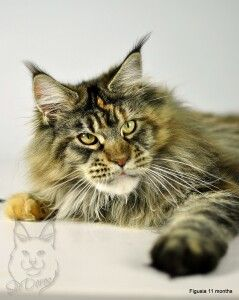 HUGE Maine Coon Fuhi is only 11 months old. What are they feeding these kitties? :)