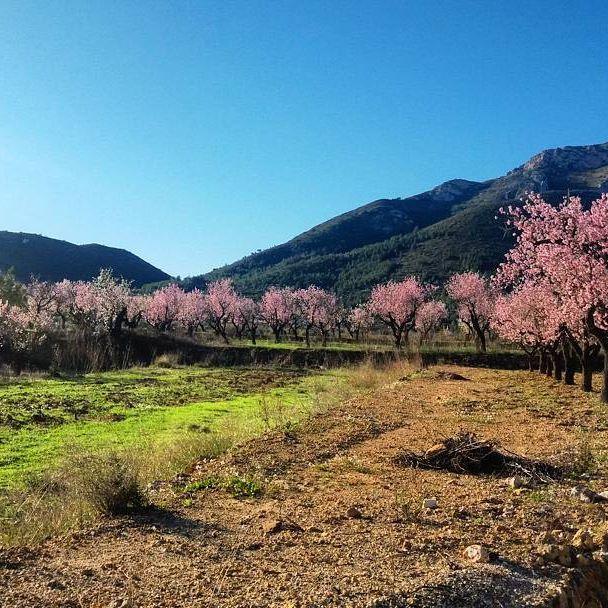 #almond #blossom #jalon #xalo #parcent #valldepop #alcalali #costablanca #spain