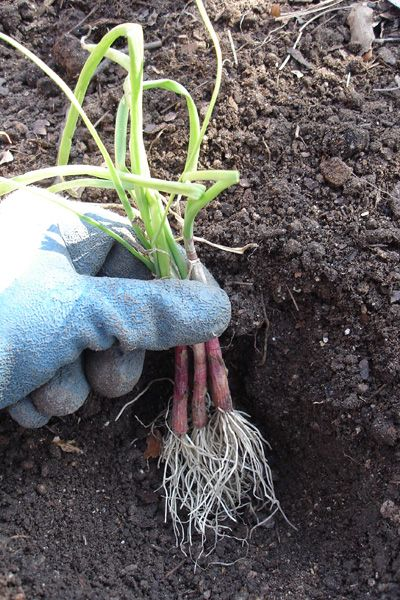 How to Grow Onions | @bonnieplants