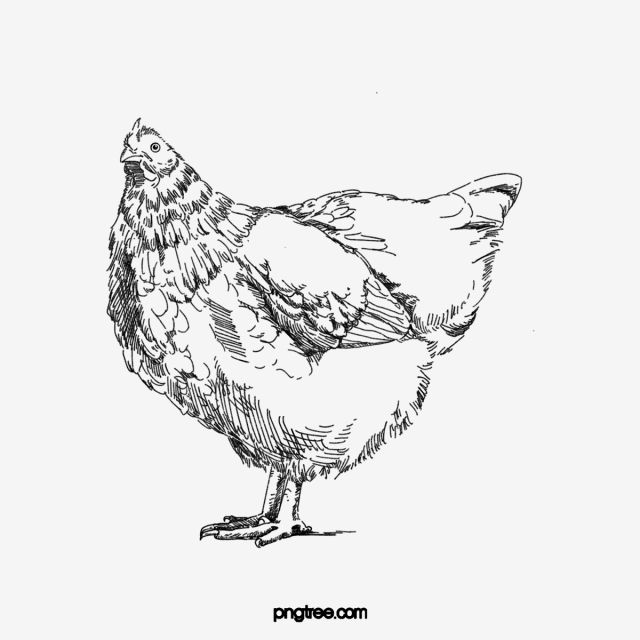Black White Hand Drawn Line Drawing Of A Hen Hen Clipart Hen Animal Png Transparent Clipart Image And Psd File For Free Download Black And White Doodle Black And White Chickens