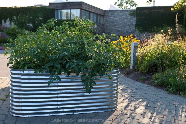 Tomatoes Growing In Raised Corrugated Galvanized Planters