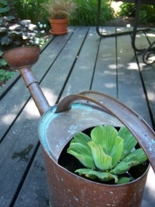 Water Lettuce growing in a watering can. Love! Water garden info at the picture-link.