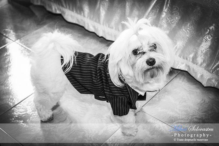 Elegant dog prepared for the wedding in Italy.