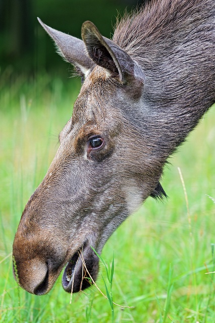 The head of a moose by Tambako the Jaguar, via Flickr