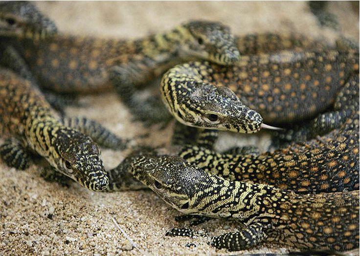 Os dragões-de-Komodo são ovíparos, e cada fêmea geralmente coloca entre 15 a 35 ovos em ninhos feitos em buracos na areia. Apesar de não ser comum em situações normais, a fêmea de dragão-de-komodo pode se reproduzir sem a fecundação do macho - através de partenogênese. A fêmea pôe em média 30 ovos a incubação leva entre 6 e 9 semanas. Os filhotes ao nascer, podem ter até 25 cm e podem virar almoço até de outros dragões de komodo.