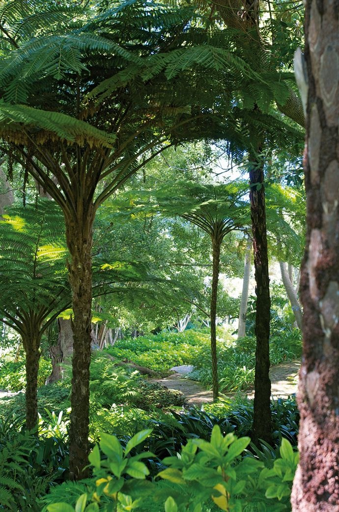 Australian tree ferns in the Alphen grounds