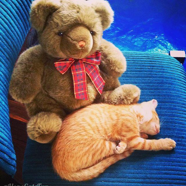 Two furry friends. #autumn #GingerKitten #thegingerninja #HopeCats #kittenandbear #gingercatsrock