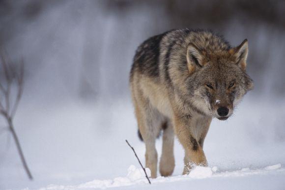 Inga vargar får skjutas i Värmlands och Örebro län – jakten tillfälligt stoppad - Supermiljöbloggen