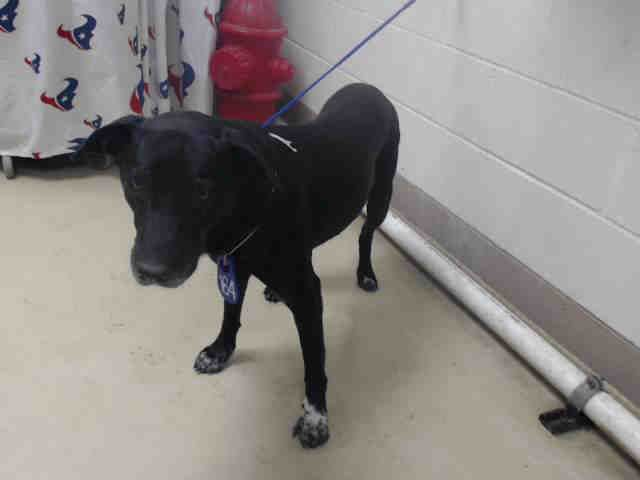This DOG - ID#A469446 - URGENT - Harris County Animal Shelter in Houston, Texas - ADOPT OR FOSTER - Female Lab Retriever - at the shelter since Oct 01, 2016.