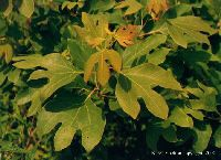 Sassafras was used extensively for food and medicine by Native Americans long before European settlers arrived. Sassafras bark was one of the first exports of the New World. In the southern U.S., the roots were boiled, then combined with molasses, and allowed to ferment into the first ROOT BEER. The young leaves can be added to salads and have a mild aromatic flavor.