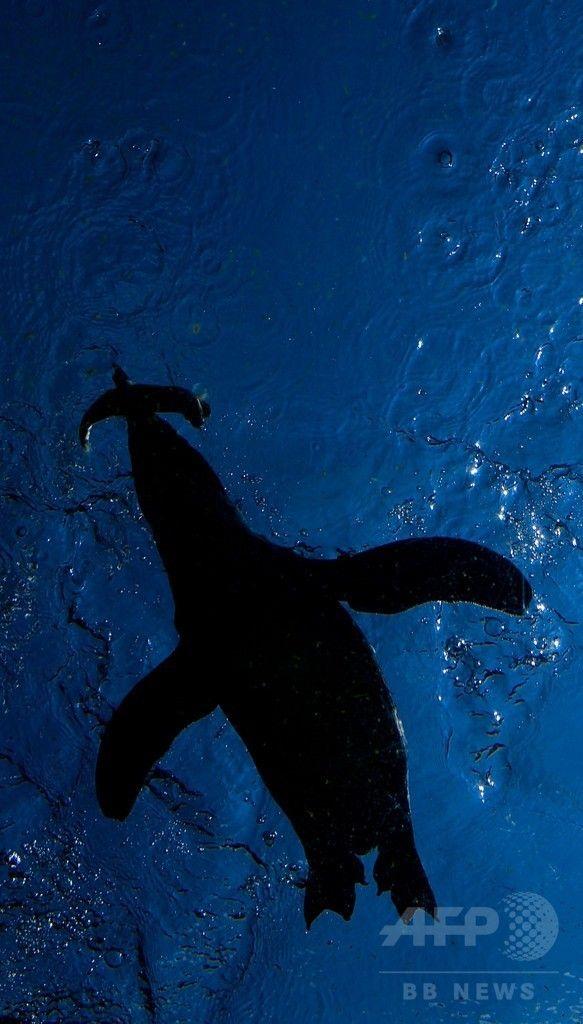 ドイツ中部ハノーバー(Hanover)の動物園で、餌の魚を食べるペンギンたち(2014年8月8日撮影)。(c)AFP/DPA/PETER STEFFEN ▼9Aug2014AFP ペンギンたちのランチタイム、ドイツ http://www.afpbb.com/articles/-/3022730 #Hanover #Penguin #Spheniscidae #Manchot #Pinguine