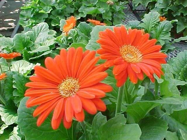 orangy flowers