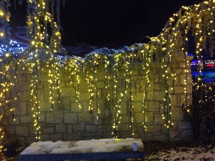 Christmas Lights In A Weeping Evergreen Or Conifer At The