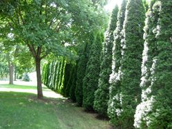 Best Trees and Shrubs for Privacy