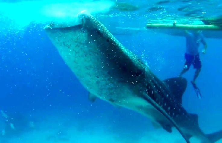 Китовые  акулы.