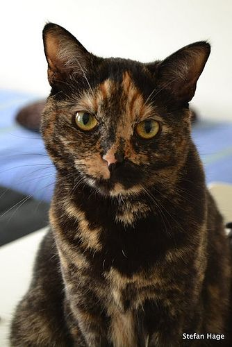 Tortoiseshell Cat ~ The True Witch's Cat We hear that black cats are witch's cats but this is not so... black cats were given negative and evil connotations during the Plague time - they were believed to be the cause and spread of it... whereas the tortoiseshell was the chosen ones for the ancients practicing the Craft...