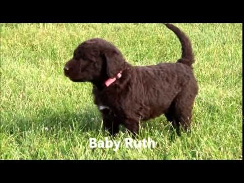 5 week old Chocolate F1b Labradoodle Puppies