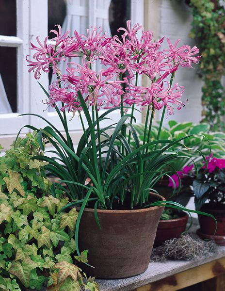 Guernsey Lily.....a robust perennial with bright strap shaped leaves up to 30cm long and has silvery pink blooms in late summer.
