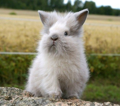 Lionhead Rabbits- too cute for words hehe