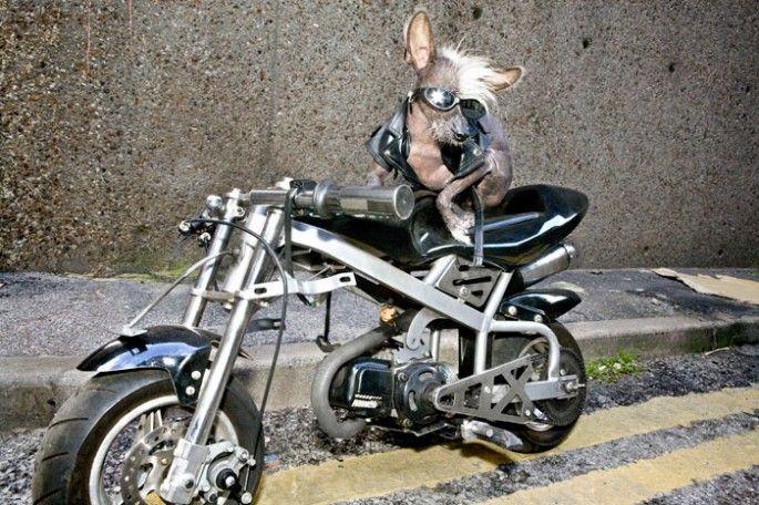 Chini chien chinois en costume motard   Un chien chinois en costume   photographe photo Irina Werning image déguisement costume chine chien ...