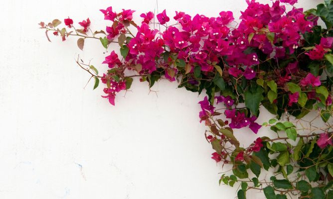 Plantas trepadoras con flor Bugambilia