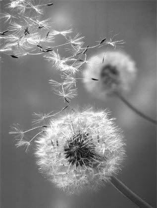 Blowing in the wind!The Head of a Dandelion-------- Come my love, remember the days when wishes were real and their granting relied on simply blowing away the seeds off the head of dandelions. ------------poem by Lisa Denise Mason