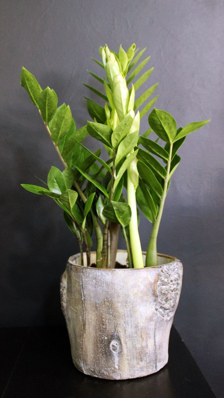 Floraison.gr   Ζάμια φυτό εσωτερικού χώρου σε στρογγυλό ποτ . Zamioculcas in wooden luxury pot.
