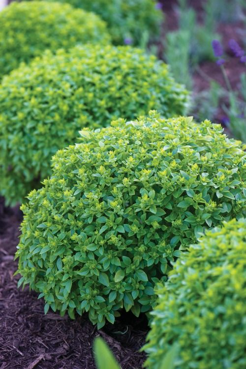 Boxwood basil ~ White House vegetable garden: Gardens Beds, White Houses, Boxwood Basil, Vegetables Gardens, Herbs Gardens, Gardens Flowers Herbs, Gardens Design, Basil Plants, Vegetable Garden