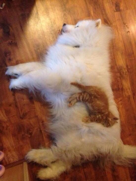 Zomg orange cat and Samoyed... My future!!!