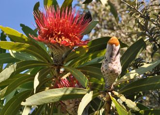 The #BlydeProtea is found in the Drakensberg escarpment of Mpumalanga. It's a bit too hot in Nelspruit for this beauty but it will grow in #Graskop and #Sabie