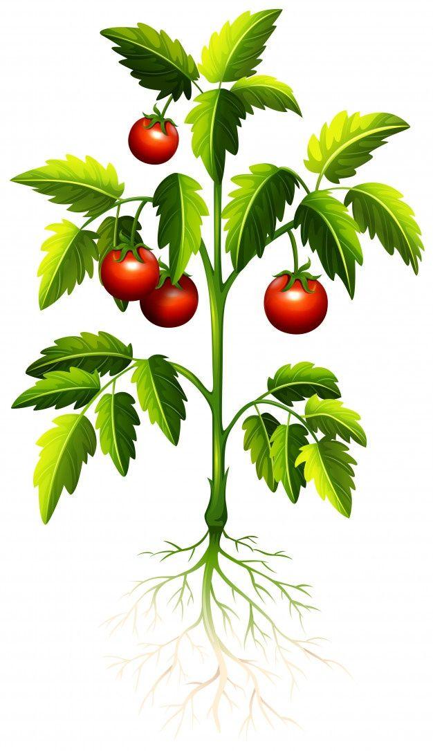 Fresh Tomato On The Tree In 2021 Tomato Tree Trees To Plant Tomato