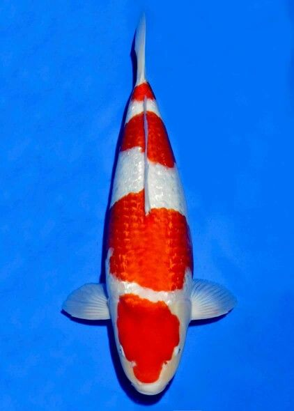 1282 best images about koi n fish on pinterest goldfish for Koi kohaku japanese