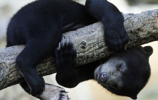 An inhabitant of the Borneo Sun Bear Conservation Centre