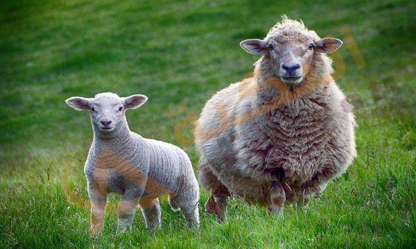 تفسير حلم الخروف في المنام أو كما يسمى بالغنم وهو من الحيوانات الأليفة والتي ع رفت منذ العصور القديمة حيث تتم تربية الغنم في أماكن كثي Sheep Livestock Animals