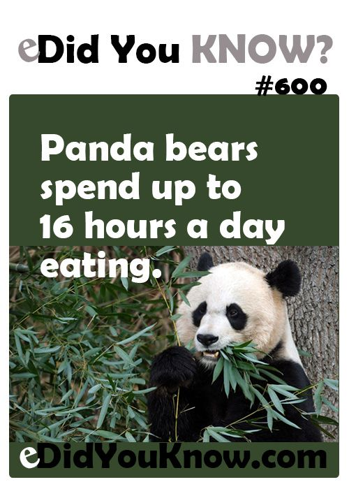 Panda bears spend up to 16 hours a day eating.  ► Click here for more: eDidYouKnow.com