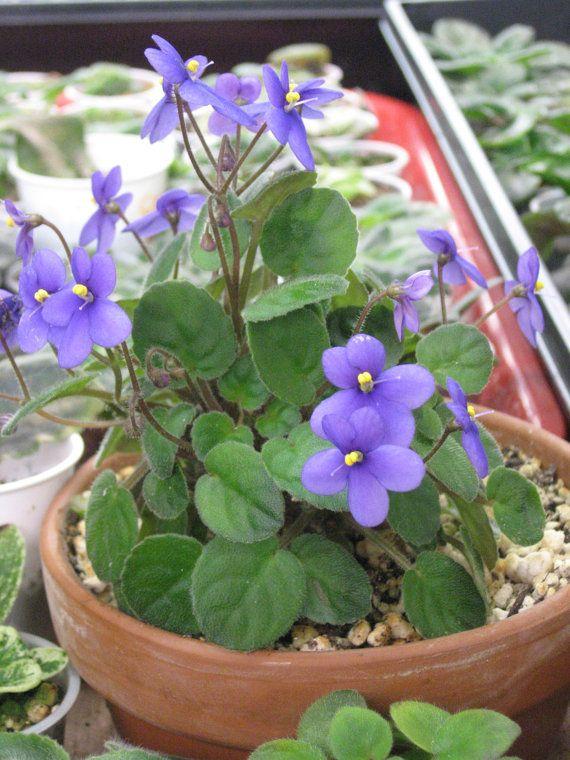 African Violet live plantSANTIPAULIA GROTEI by Shantiyarnandknits, $3.00