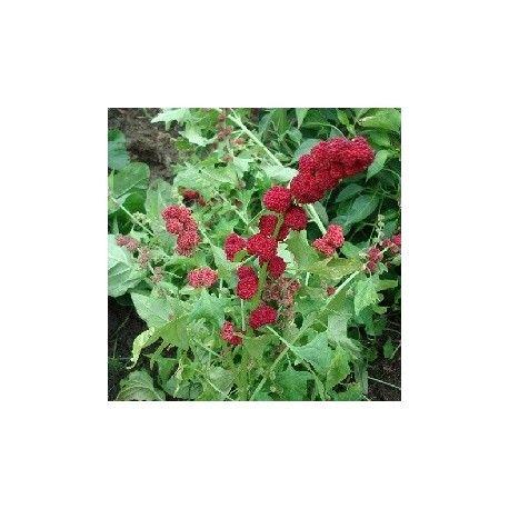 espinaca fresa, planta viva de Chenopodium capitatum en venta para crecer. #espinaca #fresa #plantar #chenopodium #capitatum #frutas